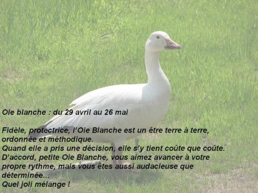05 oie blanche